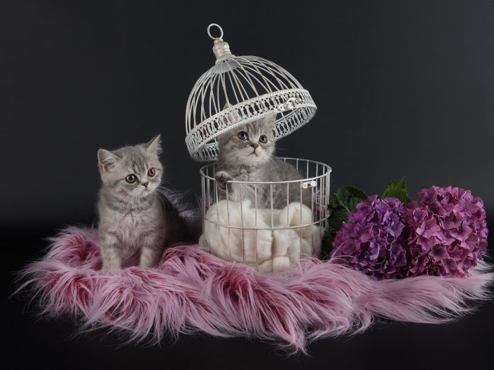 photographe elevage felin rennes illeetvilaine bretagne 02