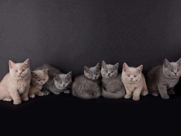 photographe elevage felin rennes illeetvilaine bretagne 03