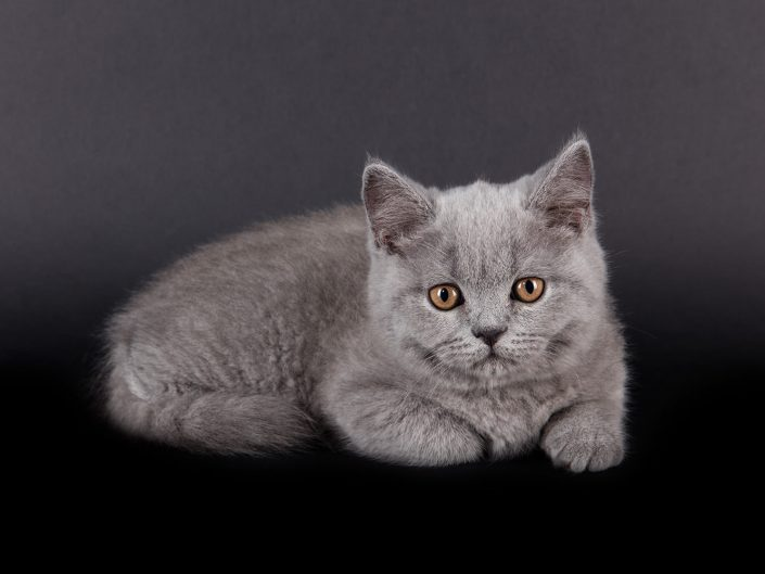 photographe elevage felin rennes illeetvilaine bretagne 04
