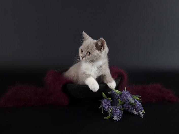 photographe elevage felin rennes illeetvilaine bretagne 06