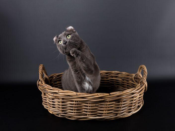 photographe elevage felin rennes illeetvilaine bretagne 15