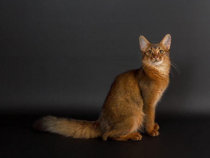 photographe elevage felin rennes illeetvilaine bretagne 17
